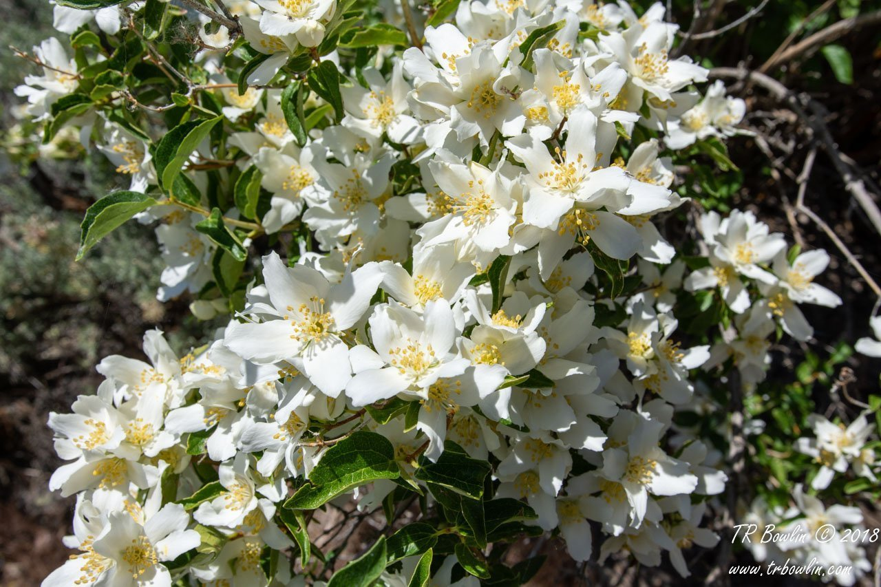 Flower, Idaho State Flower, syringa