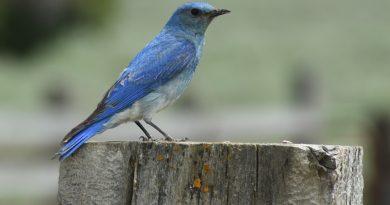 Idaho State Bird, Mountain bluebird