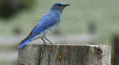 Idaho State Bird, Mountain bluebird