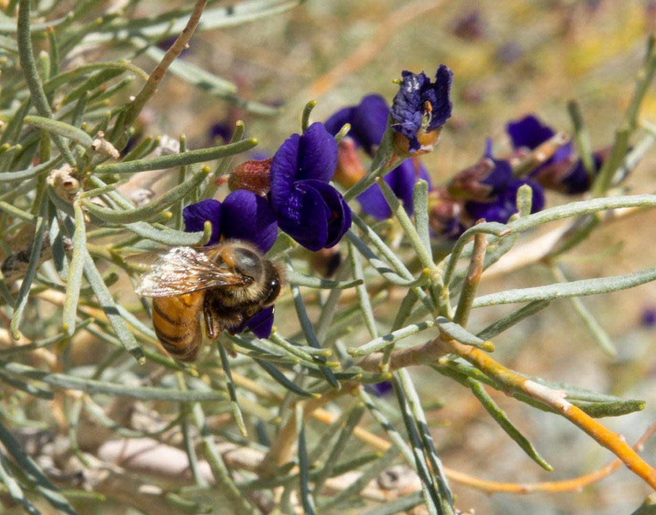 Indigo Bush, bee