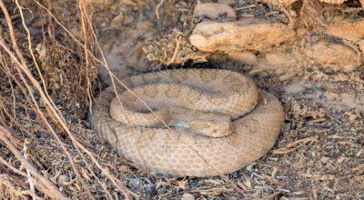 rattlesnake, snake
