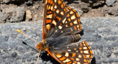 Butterfly, Craters of the Moon National Monument, fritilaria