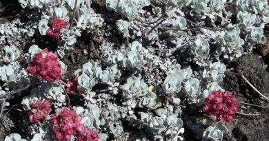 Buckwheat…an important food source